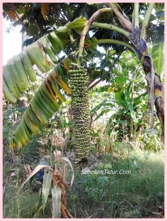 gambar pisang aneh pisangnya panjang sekali - SebelumTidur.Com