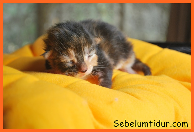 cara merawat anak kucing yang baru lahir tanpa induk ...